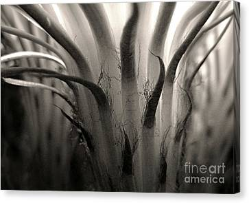 Cactus Bloom In Sepia Canvas Print by Ellen Cotton