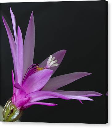 Cactus Bloom Canvas Print by Shirley Mitchell