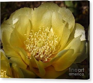 Cactus Bloom - Yellow Rose Of Texas Canvas Print by Robert Frederick