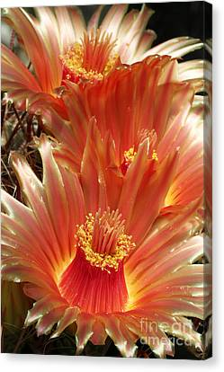 Cactus Blossoms Canvas Print by Judy Whitton