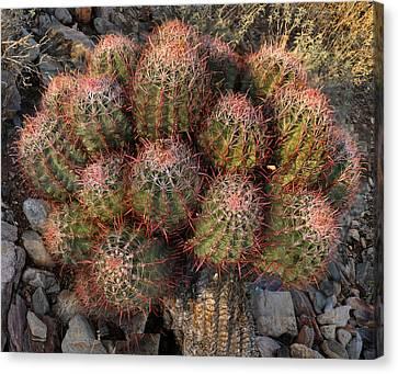 Cactus Burst Canvas Print