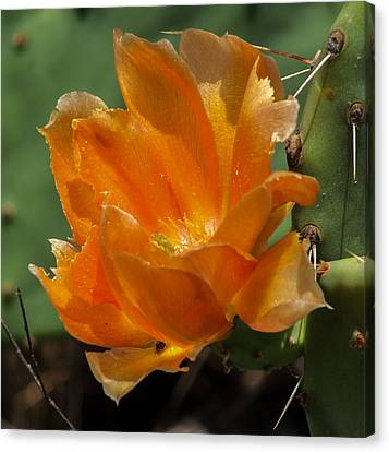 Cactus Flower In Orange Canvas Print by Toma Caul
