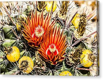 Cactus Flowers And Fruit Canvas Print by Photographic Art by Russel Ray Photos