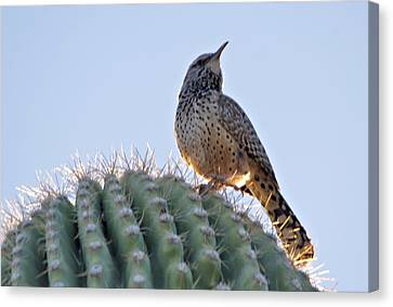 Canvas Print featuring the photograph Cactus Wren by David Rizzo