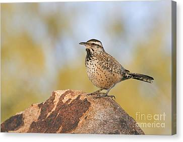 Cactus Wren On Rock Canvas Print by Bryan Keil