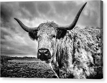 Cadzow White Cow Canvas Print