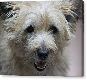 Cairn Terrier - Best Little Pal In The World... Canvas Print by  Andrea Lazar