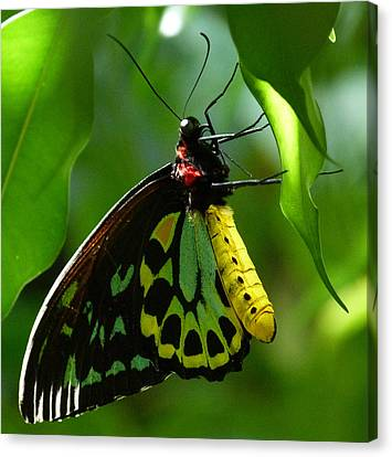 Cairns Birdwing Butterfly 3 Canvas Print by Margaret Saheed