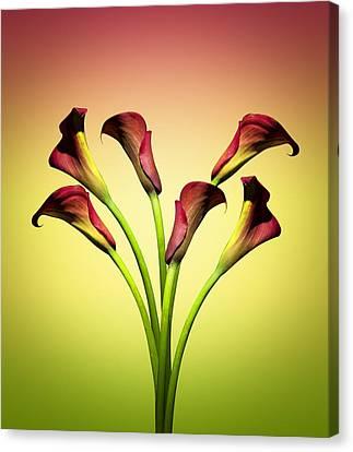 Cala Lily 6 Canvas Print by Mark Ashkenazi