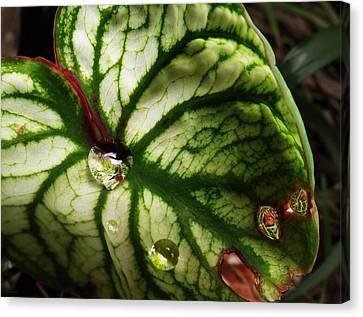 Caladium Leaf After Rain Canvas Print by Deborah Smith