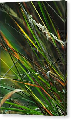 Calamagrostis Lines Canvas Print by Rebecca Sherman