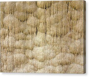 Calcium Carbonate Curtain Formation Canvas Print by Daniel Sambraus