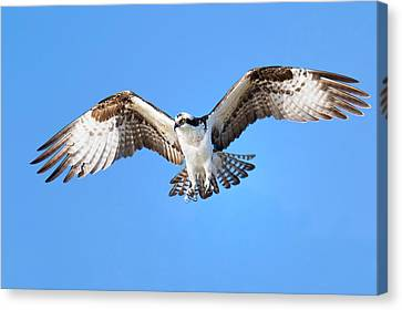 Raptor Canvas Print - Calculated Approach by John Absher