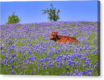 Canvas Print featuring the photograph Calf Nestled In Bluebonnets - Texas Wildflowers Landscape Cow by Jon Holiday