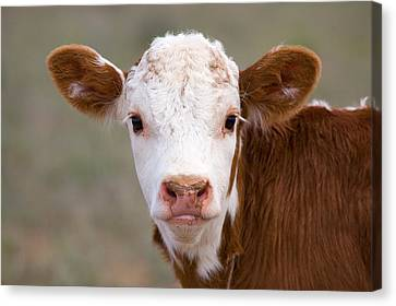Calf Portrait Canvas Print by Panoramic Images