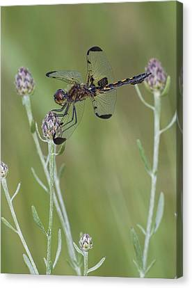 Calico Pennant On Centaurea Canvas Print