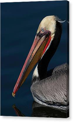 Canvas Print featuring the photograph California Brown Pelican Portrait by Ram Vasudev