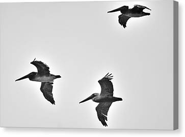 California Brown Pelicans In Black And White Canvas Print by Richard Cheski