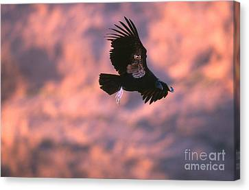 California Condor Canvas Print by Art Wolfe