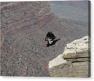 California Condor Taking Flight Canvas Print by Jayne Wilson