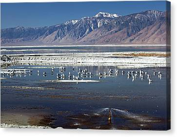 California Gulls On Owens Lake Canvas Print by Jim West