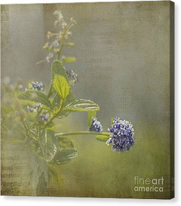 California Lilac Canvas Print