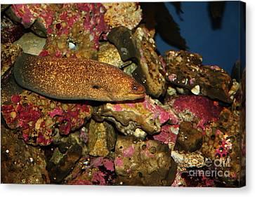 California Moray Eel 5d24868 Canvas Print