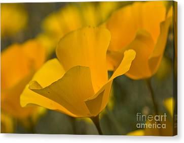 California Poppies Canvas Print by Bryan Keil