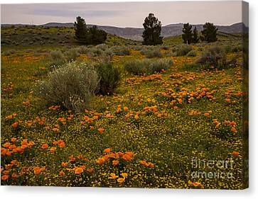 California Poppies In The Antelope Valley Canvas Print by Nina Prommer