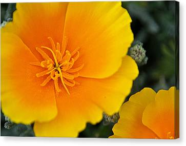 California Poppy In Spring Canvas Print by Matthew Bamberg