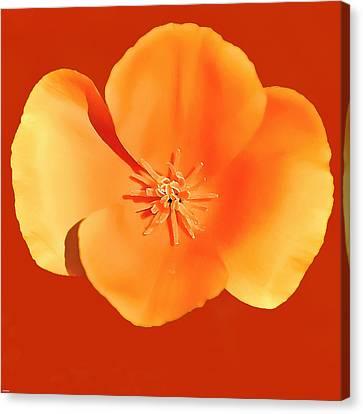 California Poppy Painting Canvas Print by Bob and Nadine Johnston