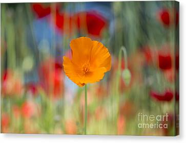 Anther Canvas Print - California Poppy by Tim Gainey