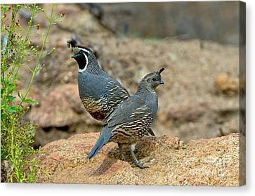 California Quail Pair On Rock Canvas Print