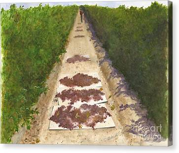 California Raisin Harvest Canvas Print by Sheryl Heatherly Hawkins