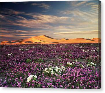 California, Sand Verbena Wildflowers Canvas Print by Christopher Talbot Frank