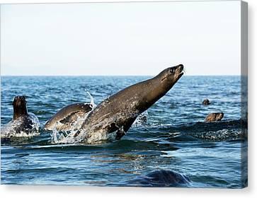 California Sea Lion Breaching Canvas Print by Christopher Swann