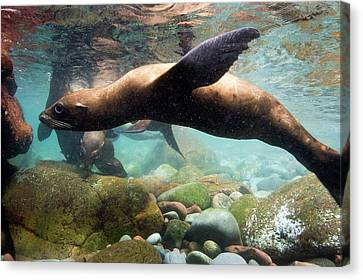 California Sea Lion In Shallow Water Canvas Print by Christopher Swann