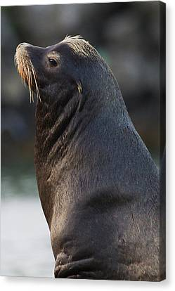 California Sea Lion Canvas Print by Ken Archer
