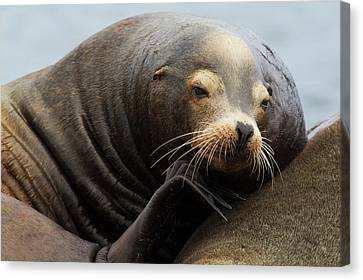 California Sea Lion Resting Canvas Print by Ken Archer