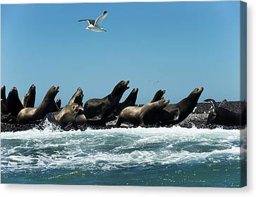 California Sea Lions Canvas Print by Christopher Swann