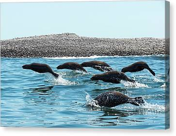 California Sea Lions Leaping Canvas Print by Christopher Swann