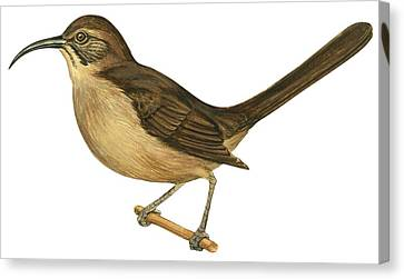 California Thrasher Canvas Print by Anonymous
