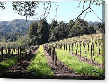 Napa Valley And Vineyards Canvas Print - California Vineyards In Late Winter Just Before The Bloom 5d22053 by Wingsdomain Art and Photography