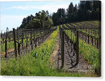 Napa Valley And Vineyards Canvas Print - California Vineyards In Late Winter Just Before The Bloom 5d22166 by Wingsdomain Art and Photography