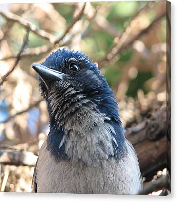 California Western Scrub Jay Canvas Print