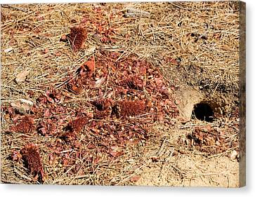 Californian Ground Squirrel Burrow Canvas Print