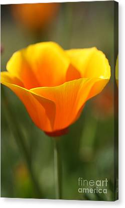 Canvas Print featuring the photograph Californian Poppy by Joy Watson
