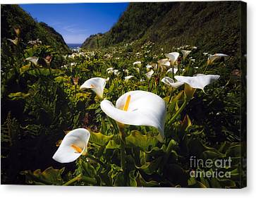 Calla Lilies Of Big Sur  Canvas Print by George Oze
