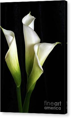 Calla Lily Flower Trio  Canvas Print by Linda Matlow