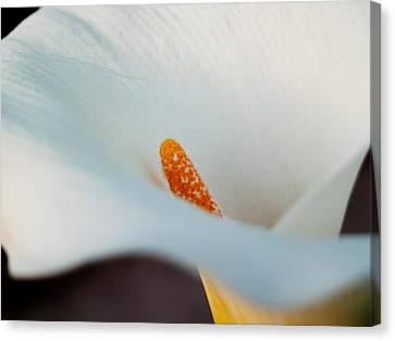 Cal Canvas Print - Calla Lily II by Bill Gallagher